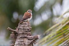 American Kestrel (Falco sparverius) (Jeluba) Tags: americankestrel bahamas buntfalke canon crécerelledamérique falcosparverius jeanlucbaron jeluba sansalvadorisland aves bird birdwatching nature oiseau ornithology wildlife horizontal raptor birdofprey