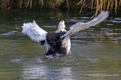 Mead Open Farm (Ashley Middleton Photography) Tags: muscovyduck animal bedfordshire billington bird duck england europe meadopenfarm unitedkingdom