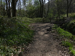 P1430332 (businessofferrets) Tags: stella dog staffy rspcarescuedog silkstoneravine