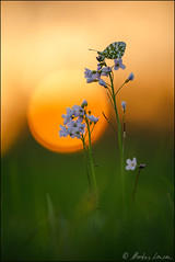 Aurorafalter bei Sonnenuntergang (Photography by Markus Lenzen) Tags: abenddämmerung abendlicht abendrot anthochariscardamines aurorafalter besonderelichtstimmung brassicaceae bundesrepublikdeutschland cardamine cardaminepratensis details deutschland fauna feinestrukturen flora fluginsekten flügel frühjahr frühling gegenlichtaufnahme germany hexapoda himmel insecta insekten kreuzblütengewächse lepidoptera lichtstimmungen macro makro makrofotografie makroobjektiv nrw nahaufnahme nahfotografie naturdokument naturfotografie neoptera neuflügler nordrheinwestfalen pieridae planzen planzenfotografie pterygota schaumkräuter schmetterlinge sechsfüser sonnenuntergang sunset tagfalter tiere tierwelt tracheata tracheentiere weislinge wiesenschaumkraut wildlife animal animals ausgefalleneslicht farbenfroh flowers intensivefarben orange roter spring stimmungsvoll tier warmeslicht wildlebend wildenatur