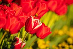 Tulipa (christos.tsiapalis) Tags: 365 tulip flower