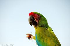 Perroquet (Christian Thepaut) Tags: perroquet birds oiseau