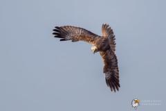 Marsh Harrier (Simon Stobart - Back For Now) Tags: marsh harrier circus aeruginosus north east england flying diving uk