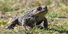 Common Toad (NickWakeling) Tags: commontoad norfolk holmedunes canoneos7dmarkii sigma150600mmf563dgoshsmcontemporary