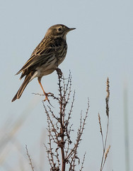Meadow Pipit (Chris.Small) Tags: bird rspb nature wildlife teesside cleveland marske redcar meadowpipit pipit