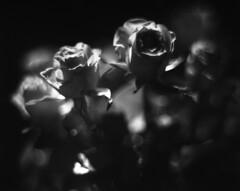 Michelle's Roses (Vidwatts) Tags: springflowers speedgraphic aeroektar fujiacros100 id11