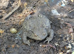 Big Common Toad (StevePaisley) Tags: amphibian common toad bufo