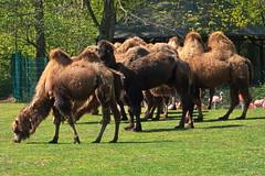 20.04.2019 12-29-3800 (TheFan1968) Tags: berlin tierpark friedrichsfelde tier trampeltier kamel