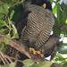 Black-and-white Owl, Ciccaba nigrolineata Ascanio_Best Costa Rica 199A8083