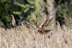Bruine kiekendief (Patrick Jansen ( Oetmeij )) Tags: 2019 bird birdofprey birdphotography bruinekiekendief circusaeruginosus marshharrier nature roofvogels vogelfotografie