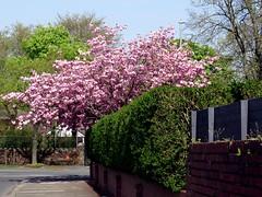 Cherry blossom (billnbenj) Tags: barrow cumbria cherryblossom blossom