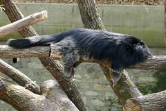 Binturong (2) (Mhln) Tags: ménagerie zoo zoologique parc park paris france 2019 animaux sauvages préservation