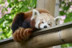 Panda roux (Mhln) Tags: ménagerie zoo zoologique parc park paris france 2019 animaux sauvages préservation
