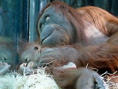 Théodora et Java (14) (Mhln) Tags: ménagerie zoo zoologique parc park paris france 2019 animaux sauvages préservation orangoutan orangsoutans