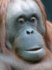 Théodora (5) (Mhln) Tags: ménagerie zoo zoologique parc park paris france 2019 animaux sauvages préservation orangoutan orangsoutans