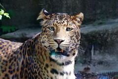 Panthère de Chine du Nord (2) (Mhln) Tags: ménagerie zoo zoologique parc park paris france 2019 animaux sauvages préservation