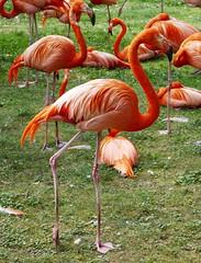 Flamants rouges (2) (Mhln) Tags: ménagerie zoo zoologique parc park paris france 2019 animaux sauvages préservation