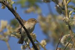 Pouillot véloce - Common Chiffchaff - Phylloscopus collybita (R. Bartho) Tags: animal extérieur oiseau passereau chanteur printemps arbre branche réservenaturelle décanteurs hollognesurgeer