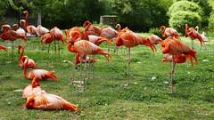 Flamants rouges (Mhln) Tags: ménagerie zoo zoologique parc park paris france 2019 animaux sauvages préservation
