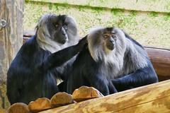 Macaques à queue de lion (2) (Mhln) Tags: ménagerie zoo zoologique parc park paris france 2019 animaux sauvages préservation