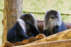 Macaques à queue de lion (1) (Mhln) Tags: ménagerie zoo zoologique parc park paris france 2019 animaux sauvages préservation