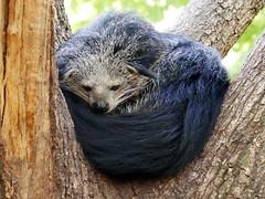 Binturong (Mhln) Tags: ménagerie zoo zoologique parc park paris france 2019 animaux sauvages préservation