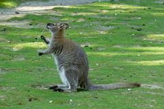 Wallaby de Bennett (4) (Mhln) Tags: ménagerie zoo zoologique parc park paris france 2019 animaux sauvages préservation