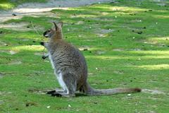 Wallaby de Bennett (2) (Mhln) Tags: ménagerie zoo zoologique parc park paris france 2019 animaux sauvages préservation
