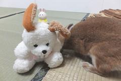 Ichigo san 1539 (Errai 21) Tags: いちごさん ichigo san  ichigo rabbit bunny cute netherlanddwarf pet うさぎ ウサギ いちご ネザーランドドワーフ ペット 小動物 1539