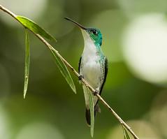 0P7A3169  Andean Emerald_hummingbird, in Ecuador (ashahmtl) Tags: andeanemerald bird hummingbird emerald amaziliafranciae mindo pichinchaprovince ecuador