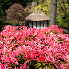Japanese Pink (Andrew Hounslea) Tags: 18300 18300dx 18300vr 18300mm afsdxnikkor18300mmf3563gedvr cheshire d7500 dx england g kingdom nikkor nikon park tatton tattonpark united unitedkingdom vr