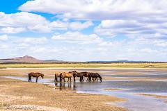Horses (joeri-c) Tags: horse horses khognokhan khognokhannationalpark mongolia water lake cloud asia nomad nomadic travel rural countryside steppe taiga khögnotarna bulgan khögnotarnanationalpark naturereserve khögnokhan nationalpark nikon d750 nikond750 85mm