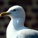 mouette - seagull