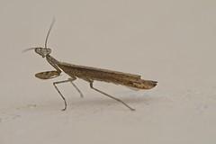 Louvadeus pequeno (mcvmjr1971) Tags: red macro d800e nikon lens sigma 150mm mmoraes niteroi mantis praying louvadeus louva deus inseto predador