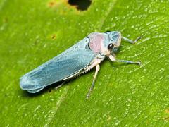 Leafhopper (Eerika Schulz) Tags: leafhopper zwergzikade zikade cicada ecuador puyo eerika schulz
