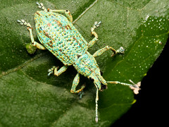 Rüsselkäfer (Eerika Schulz) Tags: rüsselkäfer käfer weevil ecuador puyo eerika schulz