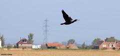 J78A0020 (M0JRA) Tags: rspb blacktoft sands birds flying people ponds lakes trees walks marsh harrier