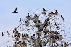 cormoran tree (renatecamin) Tags: birds cormoran tree nature baum kormoran vögel natur