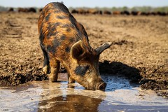 One Little pig (Ramireziblog) Tags: akkervarken modder mud varken pig