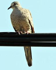 Inca Dove, Columbina inca (asterisktom) Tags: mexico2019aprilmarch mexico chiapas 2019 april incadove columbinainca dove bird vogel ave 鸟 птица 鳥 pajaro