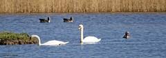 J78A0036 (M0JRA) Tags: rspb blacktoft sands birds flying people ponds lakes trees walks marsh harrier