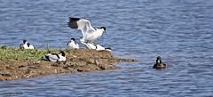 J78A0037 (M0JRA) Tags: rspb blacktoft sands birds flying people ponds lakes trees walks marsh harrier