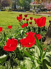 Tulips at Elsecar Park (Simply Sharon !) Tags: tulips flowers springflowers plants elsecarpark april