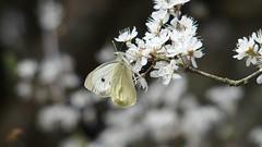 Large White (Nick:Wood) Tags: nature butterfly insect blossom largewhite pierisbrassicae cuttlepoolnaturereserve warwickshirewildlifetrust templebalsall