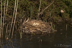 Swans nest (JJB Images) Tags: beautiful canon canoneos6d clear countryside country canonef600mmf4islens detailed detail england explore explored focus fuji interesting image jjbimages lumix lovelylight minolta nikon nature natural nice pretty picturesque panasonic royalwoottonbassett rspb tamron rural wiltshire wildlife xl zoom zoomed