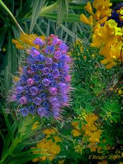 The Pride of Madeira, #2 (Greatest Paka Photography) Tags: prideofmadeira island atlanticocean plant flower shrub invasive ornamental coastal sanmateo california portuguese madeira boraginaceae species