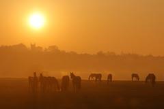 IMG_7968 (Yorkshire Pics) Tags: 2104 21042019 21stapril 21stapril2019 swillington swillingtonsunrise horses horsesunrise horsesilhouettes swillingtonchurch sunrise leeds eastleeds easter eastersunday swillington2019
