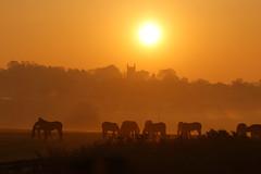 Swillington Sunrise (Yorkshire Pics) Tags: 2104 21042019 21stapril 21stapril2019 swillington swillingtonsunrise horses horsesunrise horsesilhouettes swillingtonchurch sunrise leeds eastleeds easter eastersunday swillington2019