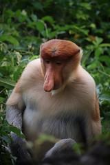 Handsome Chap (leewoods106) Tags: labukbay borneo sabah malaysia proboscismonkey male monkey jungle wild wildlife wildanimal