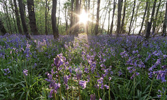 Sunkissed... (Steve-Ross) Tags: bluebells bluebell forest oxfordshire